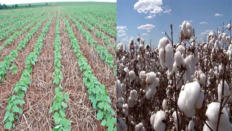 Valor da produção de algodão apresenta recuo de 5,88% em MT